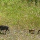 Wildschweine im Köschinger Forst